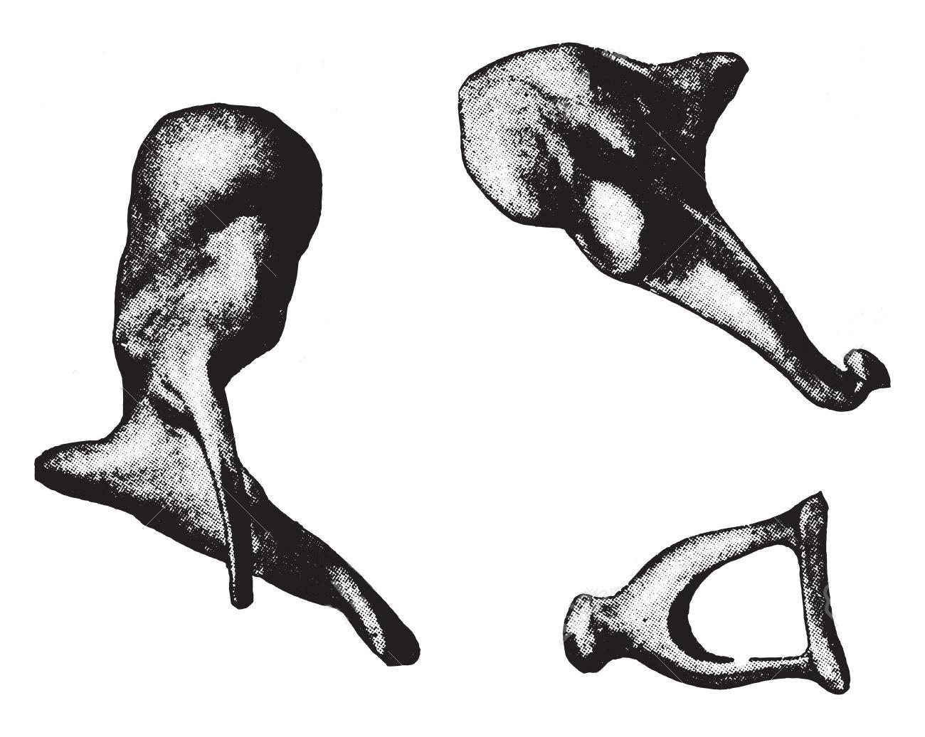 Bones of ear illustration