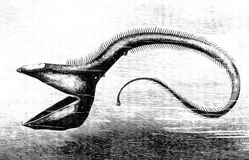 800px-PSM_V23_D086_The_deep_sea_fish_eurypharynx_pelecanoides